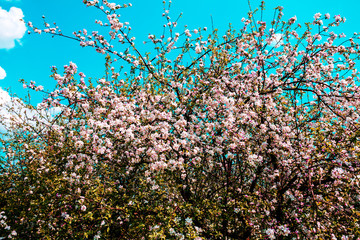 Blossoming apple tree in orchard against the blue sky