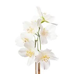 Jasmine's  flowers isolated on white background.