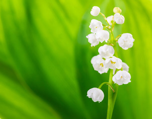Lily of the Valley on light green background. selective focus
