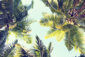 Wall Mural - Palms against the blue sky.  Low Angle View. Toned image