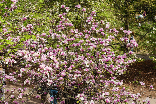 Bloomy magnolia tree with big pink flowers stock photo and royalty bloomy magnolia tree with big pink flowers mightylinksfo