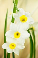 Photo sur Aluminium Narcisse Daffodil, Jonquil, Daffodils, Narcissus