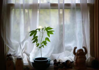 Cannabis plant growing on window sill
