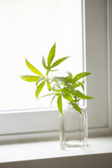 Cannabis plant in a vase on a window sill.
