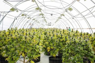 Inside a large cannabis canopy grow