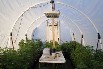 Inside a large cannabis canopy grow