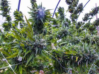Santa Cruz cannabis farm
