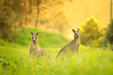 Papiers peints Kangaroo Kangaroos at sunset
