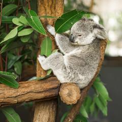 Wall Murals Koala Australian koala outdoors in a eucalyptus tree.