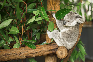 Photo Stands Koala Australian koala outdoors in a eucalyptus tree.