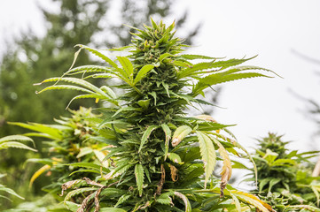 Close up of cannabis plant growing on farm