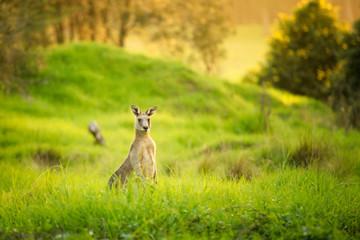Papiers peints Kangaroo Kangaroos at sunset, hiding in the grass