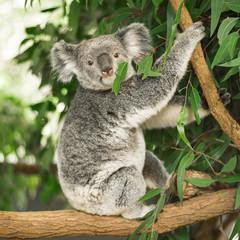 Garden Poster Koala Australian koala outdoors in a eucalyptus tree.