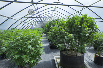 Cannabis plants growing in canopy
