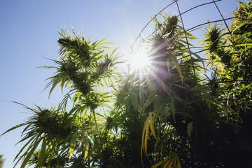 Cannabis plants growing on farm