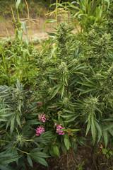 Marijuana plants growing in farm