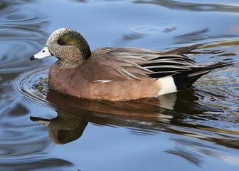 Male American Wigeon Duck Drake