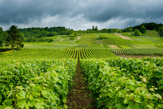 Rows of vines in champagne vineyard Venteuil Epernay Marne France