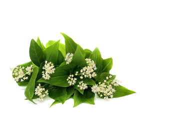 Poster de jardin Muguet de mai Bouquet of flowers Maianthemum bifolium (false lily of the valley or May lily) on a white background with space for text.