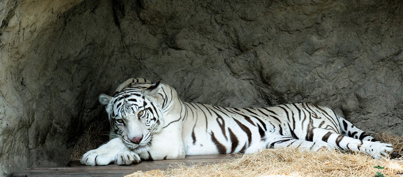 A young white tiger just woke up from sleeping, his face is very attractive.