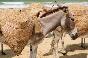 Donkeys on the beach in the vicinity of the Malindi resort in Kenya