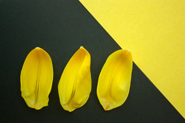 petals of a Tulip on black and yellow background, top view, copy space