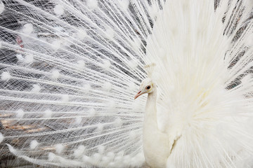 beautiful white male peacock spreads tail feathers