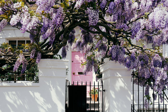Blossoming wisteria tree covering up a house on a bright sunny day in London