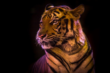 Bengal Tiger portrait looking outside  isolated black on background