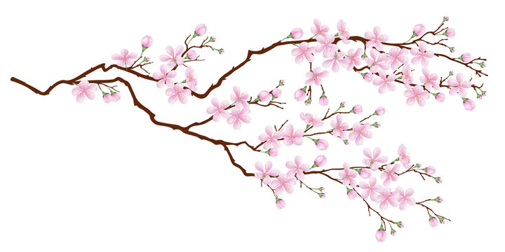Horizontal branch of cherry blossoms. Realistic vector illustration on isolated background.