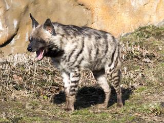 Garden Poster Hyena Yawning Striped Hyaena, Hyaena hyaena sultana