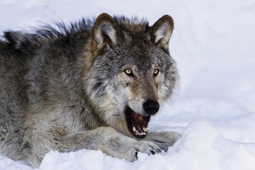 Wolf portrait in winter
