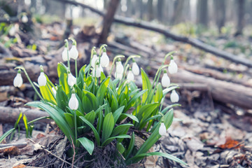 Beautiful springtime background. White blooming snowdrop folded or Galanthus plicatus with water drops. Low angle. Sunshine. Sunrise. Toned, soft focus. Shallow depth of field.