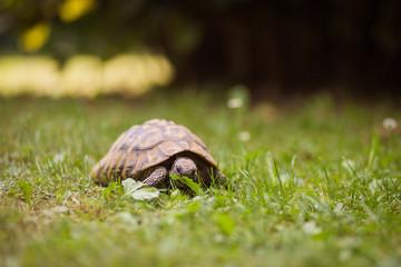 Vegetarier im Garten, griechische Landschildkröte
