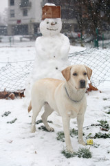 Labrador dog standing in front of a funny snowman in the park