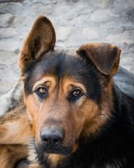 Преданный сторожевой пёс. Немецкая овчарка