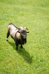 billy-goat animal