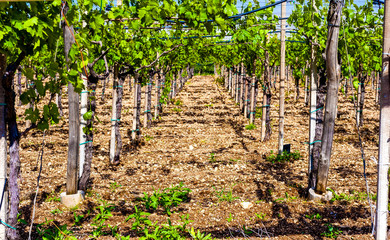 View through rows of grapevine with ripe bunches of red wine on the plants, perspective
