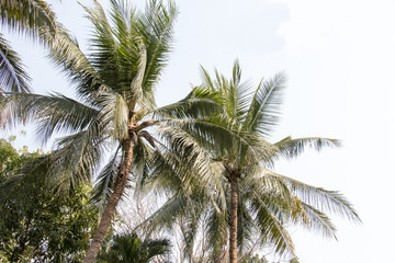 group of coconut and blue sky ,coconut make dessert and food