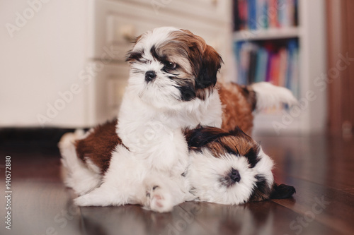 Two Shih-tzu puppies playing at home
