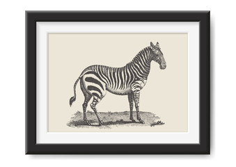 retro vector illustration: vintage drawing of a zebra in a realistic black frame - great adventure / safari themed print or poster, graphic design element