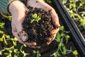 Seedling Planted in Mound of Soil in Cupped Hands