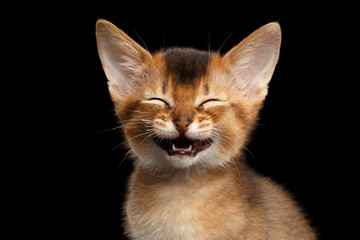 Laughs Abyssinian Kitty with funny closed eyes on Isolated Black Background