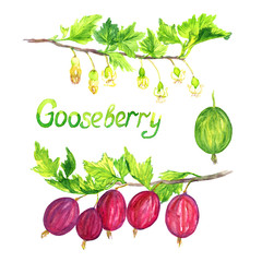 Gooseberry branch blooming and with ripe berries, isolated set hand painted watercolor illustration