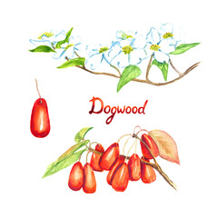 Dogwood branch (Cornus florida (flowering dogwood)) with flowers ripe red berries, isolated set hand painted watercolor illustration