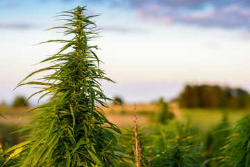 Marijuana plant on field