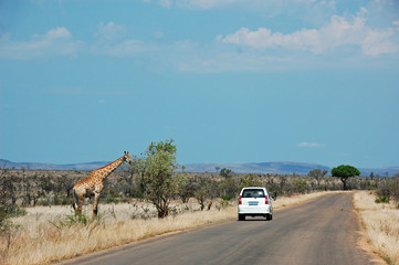 White car on safari passing a giraffe standing on the left side of the road in Kruger Nationalpark South Africa