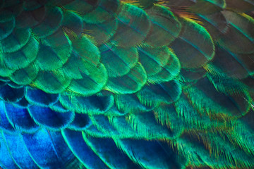 Details and colors of peacock feathers.