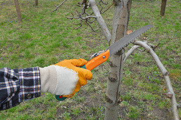 Agriculture, farmer pruning apple tree in orchard using handsaw