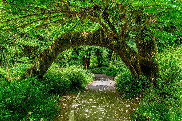 Tree arch in Hoh Rain forest, Olympic National Park, Washington